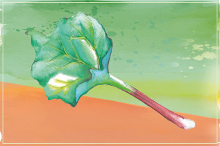 Rhabarber Illustration von Isabel Junker